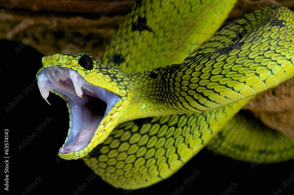 Fototapeta Attacking snake / Atheris nitschei