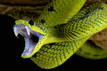 Attacking Snake / Atheris Nits...