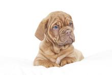 Dogue De Bordeaux Puppy (Frenc...