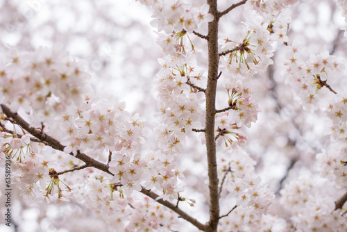 Der Lebensbaum. Kirschenbaumgarten