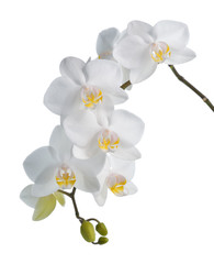 Panel SzklanyWhite orchid isolated on white.