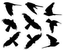 Common Kestrel In Flight Silho...