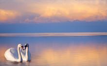 Art  Beautiful Two White Swans...