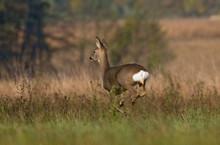Roe Deer Running