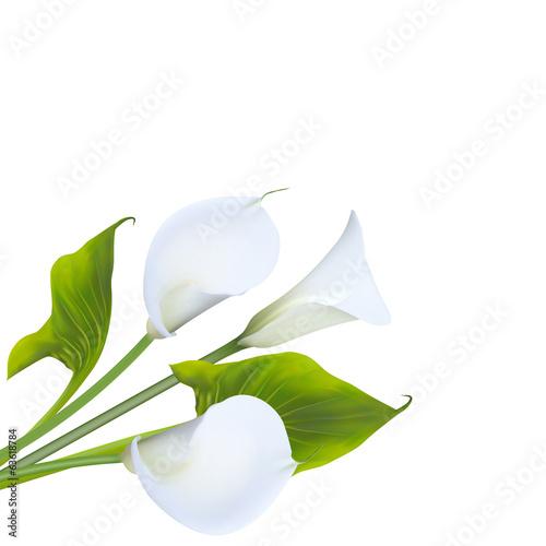 Obraz na plátne Calla lily