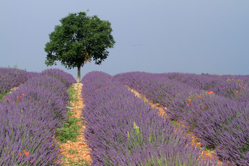 Fototapetavalensole provenza francia campi di lavanda fiorita
