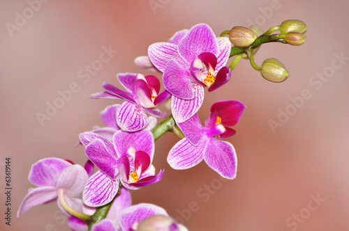 phalaenopsis-orchidea-odizolowywajaca-na-miekkim-tle-rozowa-orchidea