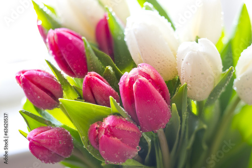 Photo  Fresh Tulips