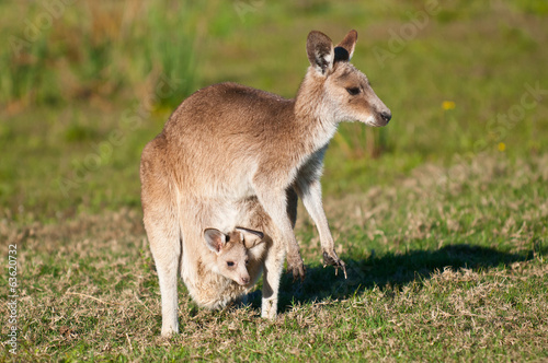 Poster Kangoeroe Kangaroos in the wild