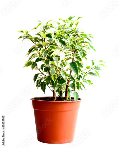 Home flower in a pot. ficus benjamina