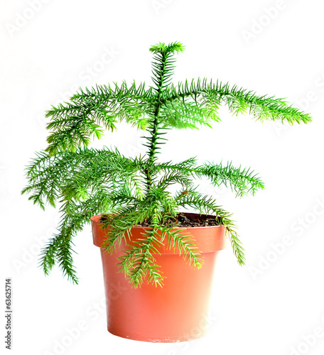 Photo Home flower in a pot. araucaria