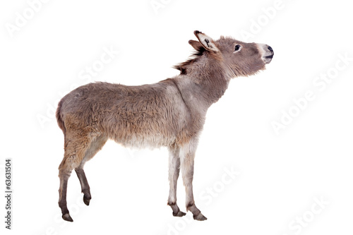 Tuinposter Ezel Pretty Donkey isolated on the white background