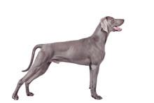 Weimaraner Dog Isolated On Whi...