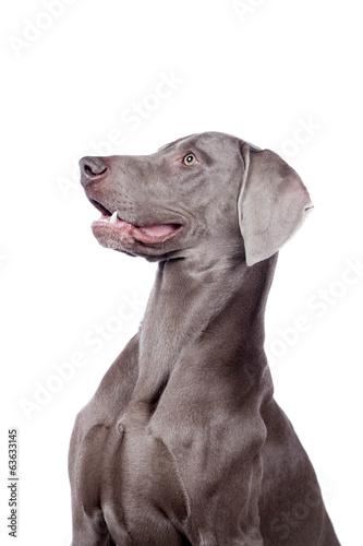 Funny Weimaraner Dog isolated on white background - Buy this stock