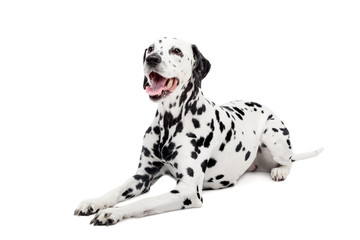 Panel Szklany Pies Beauty dalmatian dog, isolated on white background