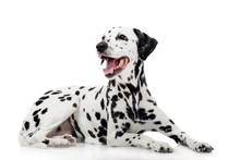 Beauty Dalmatian Dog, Isolated...