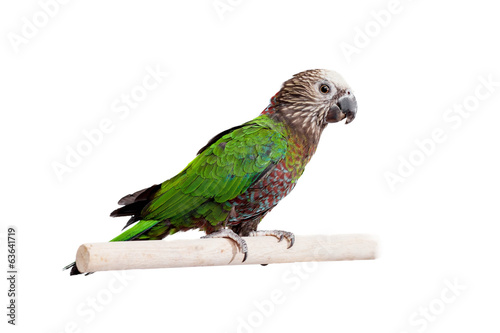 Staande foto Papegaai Hawk-headed Parrot (Deroptyus accipitrinus) isolated on white