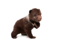 Brown Bear Cub, 1,5 Mounth Old, Isolated On White Background
