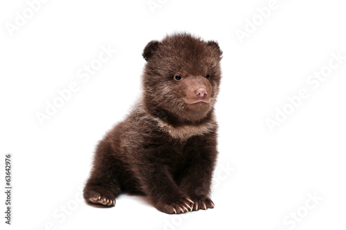 Fotografie, Obraz  Brown Bear cub, 1,5 mounth old, isolated on white background