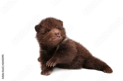 Brown Bear cub, 1,5 mounth old, isolated on white background Canvas Print