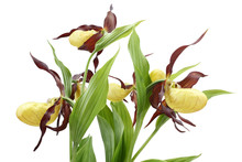 Flowers Of The Cypripedium Calceolus