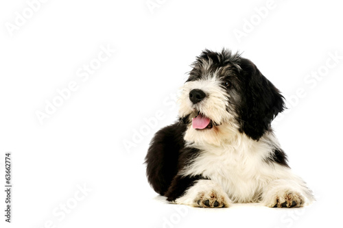 Polish Lowland Sheepdog isolated on a white background Canvas Print