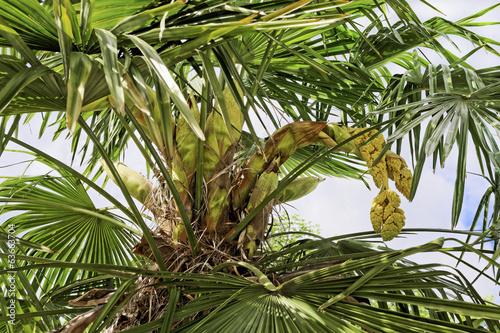 Palmier En Fleur Buy This Stock Photo And Explore Similar Images