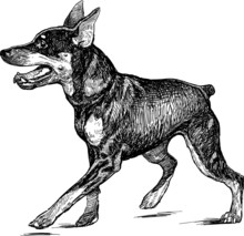 Puppy Of A Dobermann Pinscher