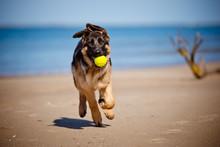 German Shepherd Puppy Playing ...