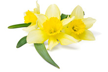 Yellow Daffodil Isolated On A ...