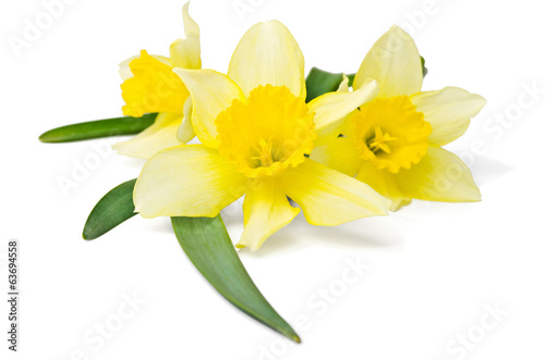 Foto op Canvas Narcis yellow daffodil isolated on a white background