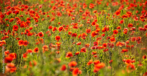 Field of Poppy Flowers Papaver rhoeas in Spring - 63710110