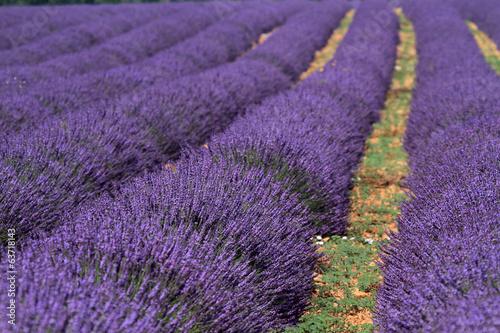 Tuinposter Lavendel valensole provenza francia campi di lavanda fiorita