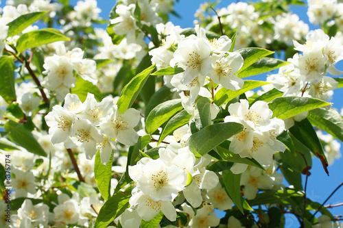 Fotografie, Obraz  Jasmine flowers background