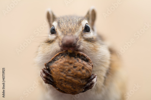 Foto op Canvas Eekhoorn 胡桃を食べるシマリス