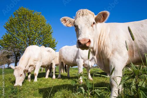 Poster de jardin Vache Vaches au pré
