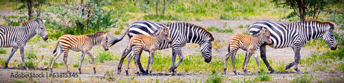 Photo Zebras with young in Tanzania.