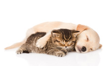 Golden Retriever Puppy Dog And British Cat Sleeping Together.