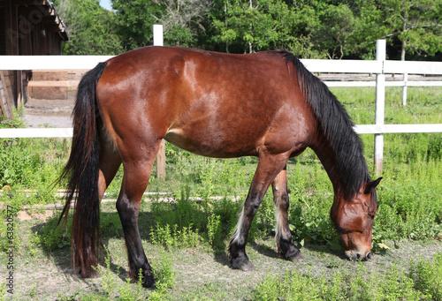 Photo  grazing mustang