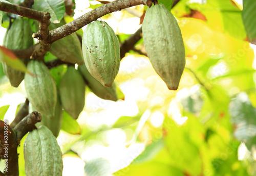 Fotografía  cacao fruit grow on tree