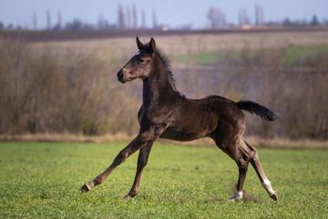 Running black foal in spring field