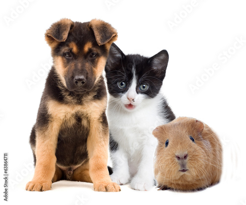Fototapety, obrazy: kitten and puppy and guinea pig
