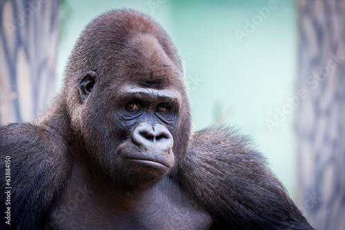 In de dag Aap Portrait de gorille des plaines