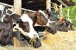 Calves in row. Cows breeding on bio farm