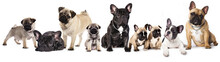 Group Of French Bulldogs All A...