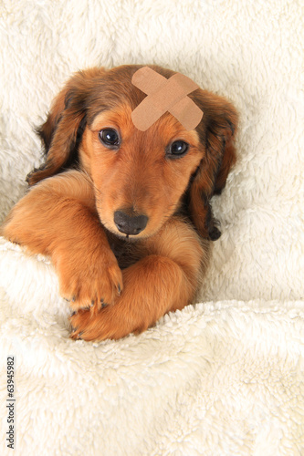 Fényképezés  Injured Dachshund puppy