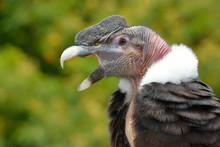 Andean Condor (Vultur Gryphus)...
