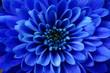Leinwandbild Motiv Macro of blue flower aster