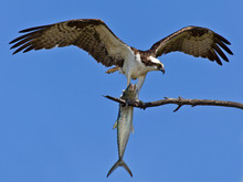 Osprey (Sea Hawk) With Fish And Open Wings