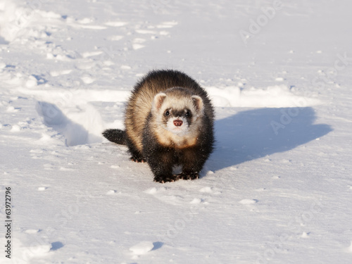 Ferret in the winter on snow